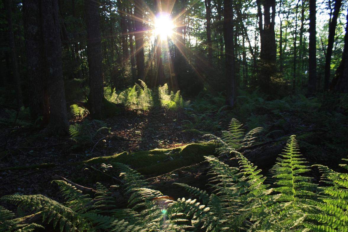 Randolph Co-Gaudineer virgin spruce forest (8)